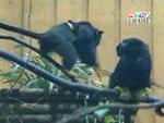 Một cặp khỉ Tamarin tay đỏ song sinh vừa chào đời