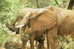 Loài voi cũng viếng thăm xác của đồng loại