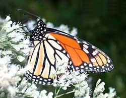 Mêxicô: nơi trú đông lý tưởng của loài bướm vua (Danaus plexippus)