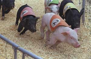 Lợn có thực sự rất ngu ngốc không?