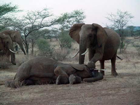 Câu chuyện về lòng trắc ẩn của voi