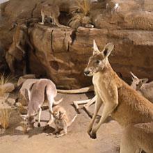 Thuốc tránh thai cho... Kangaroo