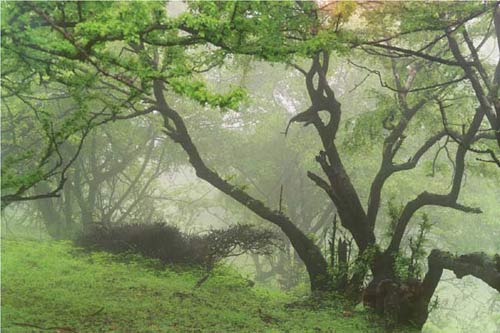 Rừng cây sống bằng sương mù