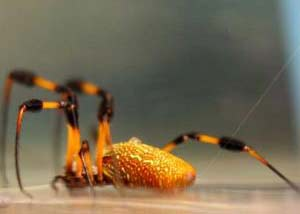 Chế tạo tơ nhện nhân tạo: nhiều ứng dụng ích lợi trong tương lai