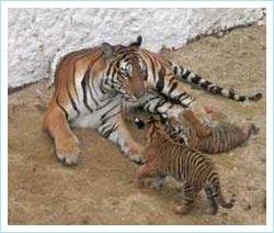 Lần thứ hai hổ Đông Dương đẻ thành công trong điều kiện nuôi