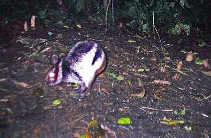 Phát hiện loài thỏ hiếm