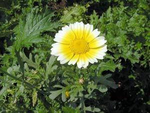 Kỹ thuật trồng và chăm sóc cây hoa cúc