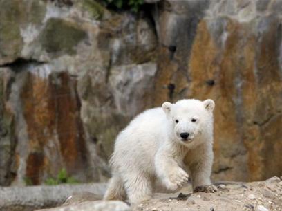 Đức: cảnh sát bảo vệ gấu con Knut