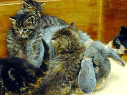 Thỏ cưu mang mèo con