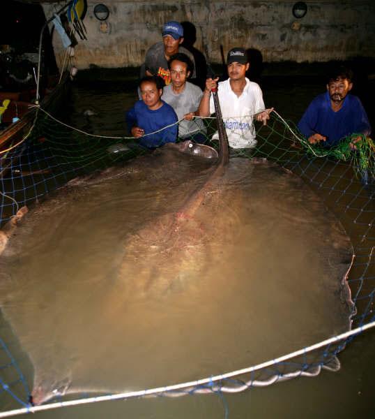 Loài cá đuối gai độc nước ngọt lớn nhất thế giới