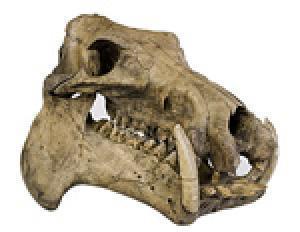 Kích thước não của người lùn Hobbit có thể được giải thích bởi cuộc sống trên đảo của loài hà mã