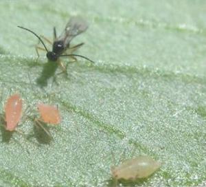 Rệp vừng sống sót nhờ vi khuẩn bị lây nhiễm
