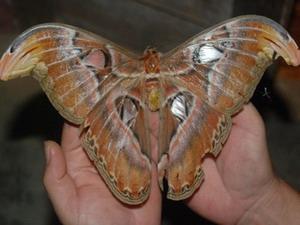 Phát hiện 'nàng' bướm khổng lồ