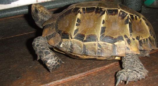 Phát hiện 19 con rùa núi viền cực hiếm