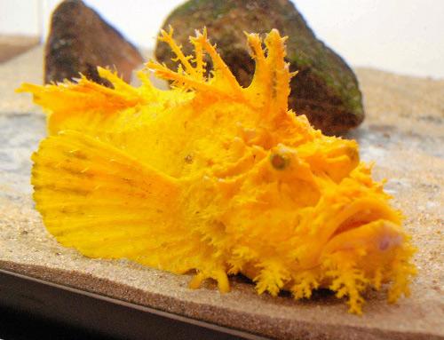 Bắt được cá mú mặt quỷ màu vàng vô cùng quý hiếm
