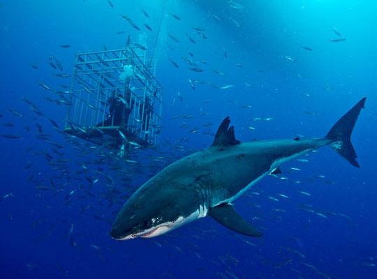 Rợn người bơi cùng cá mập trắng lớn