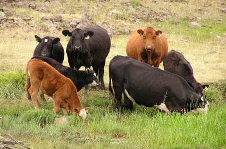 Cổ vật có thể tăng tuổi do chân gia súc