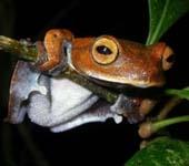 Phát hiện một loài ếch khác thường tại Việt Nam