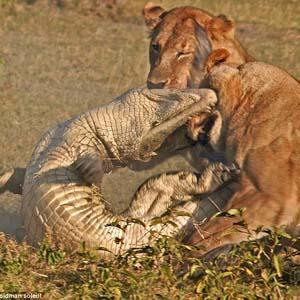 Cận cảnh sư tử cái giết cá sấu bảo vệ con