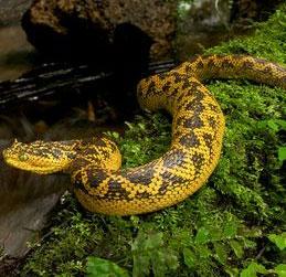 Phát hiện loài rắn cực độc có sừng