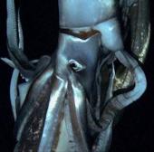 Phát hiện loài mực khổng lồ tại Bắc Thái Bình Dương