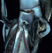 Video: Con mực khổng lồ dài tới 8m dưới đáy biển