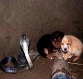 Rắn hổ mang bảo vệ hai chú cún suốt 48h