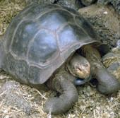 Loài rùa quý hiếm Galapagos bước vào mùa sinh sản
