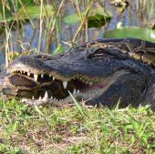 Video: Trăn khổng lồ xơi tái cá sấu