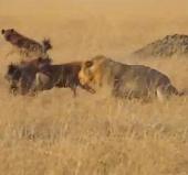Video: Sư tử cái bị đàn linh cẩu tấn công dữ dội