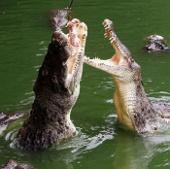 Mưa lớn giúp hàng vạn cá sấu sổng chuồng