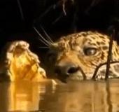 """Video: Xem báo đốm """"xơi tái"""" cá sấu dưới nước"""