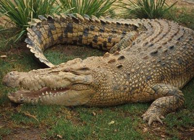 Cá sấu stress và… tuyệt thực
