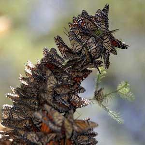 Mexico: số lượng bướm vua tăng gấp đôi