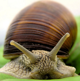 Con người có thể sống đến 500 tuổi nhờ gene ốc sên