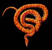 """""""Đường cong"""" chết người của những loài rắn kịch độc"""