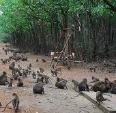 Video: Khỉ thu hoạch sò
