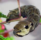 """""""Quái sâu"""" giống rắn đến kinh ngạc"""