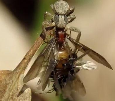 Video: Kiến đực tìm cách giao phối với kiến chúa đang bị nhện ăn thịt