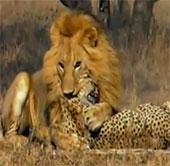 Video: Sư tử cắn chết một lúc 2 con báo