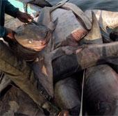 Cá mập bị xẻ thịt lấy vây hàng loạt tại Indonesia