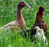 Tìm ra cách để vịt làm cha của gà