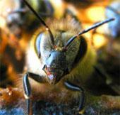 Video: Cuộc chiến sinh tử của ong sơ sinh