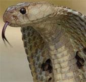 Video: Rồng đất đánh nhau với rắn hổ mang bành