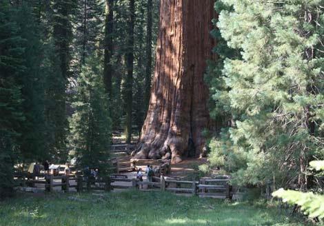"""Sequoia – """"Nhân chứng"""" sống lâu nhất trên hành tinh"""