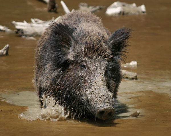 Lợn rừng xuất hiện ở vườn quốc gia U Minh Hạ