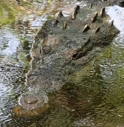 Phát hiện loài cá sấu cực lớn, nuốt chửng được người