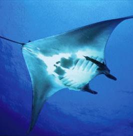 Những điều chưa biết về loài cá khổng lồ dài 8m