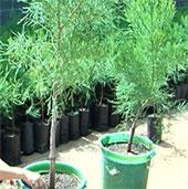Đắk Lắk phát triển cây thủy tùng từ giống ghép