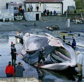 Nhật Bản: Cá voi có vây sắp tuyệt chủng